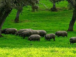 Cerdos de Jabugo, de Pixabay