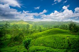 Montes de té verde, de Open