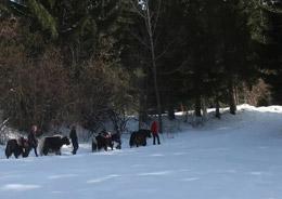 Paseo invernal con yaks, de Turismo de Suiza